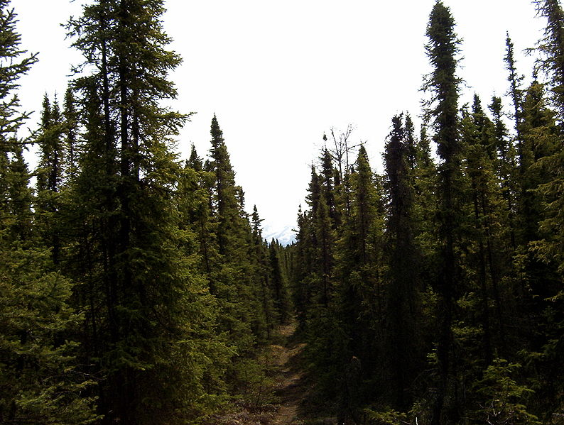 Taiga spruce forest in the Kenai National Wildlife Refuge