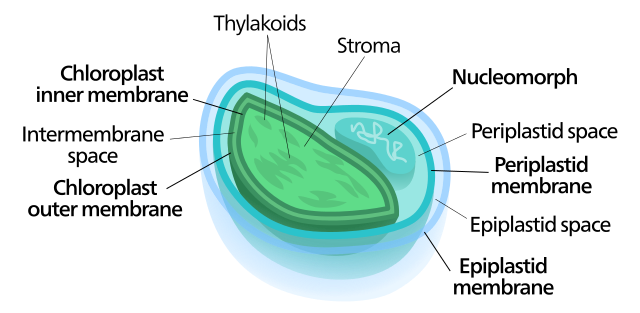 four membraned chloroplast